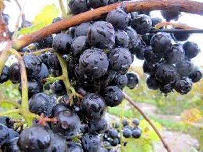 grapes and rain1